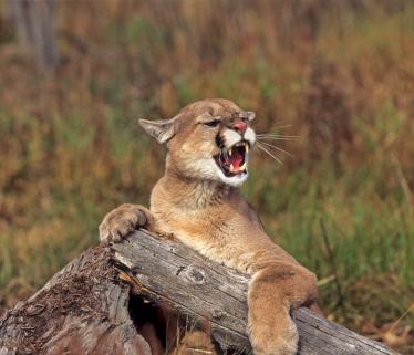 Mountain_lion_aggressive