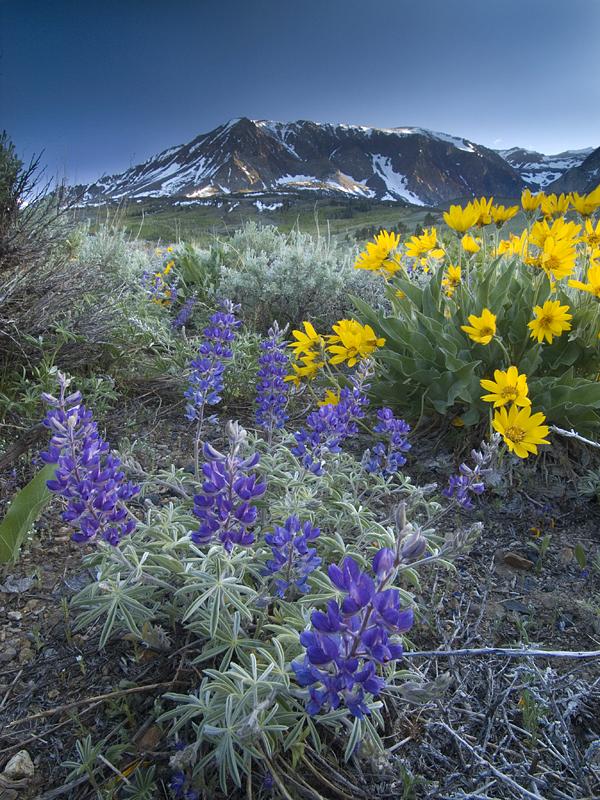 Sierrawildflowers